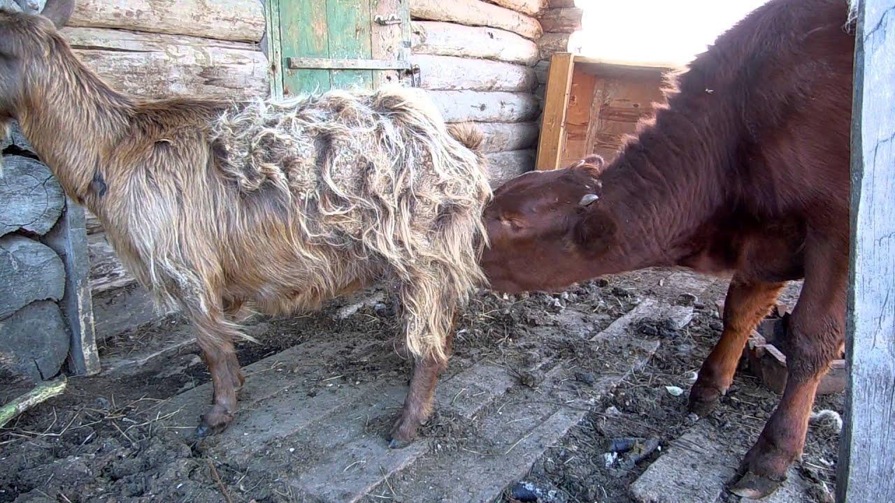 молоко у сосет себя коза