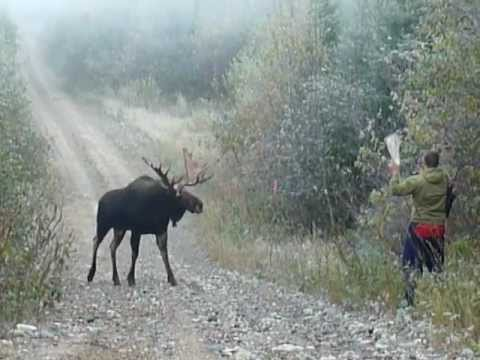 Ontario moose charges 55 inches...2011