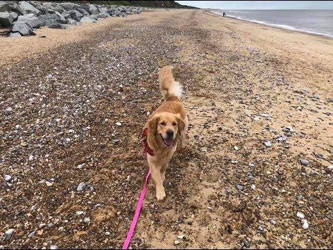 Enzo - Golden Retriever - 3 Week Intensive Dog Training Course