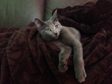 Ghazi 5 Month Old Russian Blue Cat - shake hands, fetch, stand,
