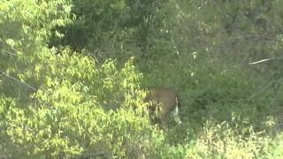 White-tailed Buck Outside North American Hunting Club Headquarters (October 19, 2011)