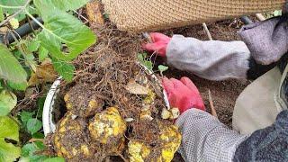 백합 키우기2/구근 캐서 심는 방법/번식/수확/두더지 …