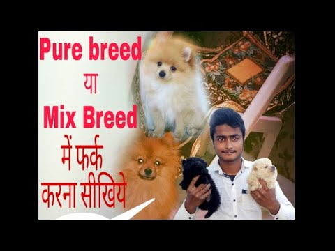 How to identify pure breed culture pom? Learn here👍