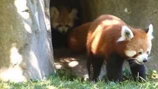 Baby red panda twins and their momma!