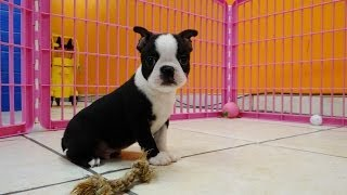 Boston Terrier, Puppies, For, Sale, In, Jackson, Mississippi, Ms, Clinton, Pearl, Horn Lake