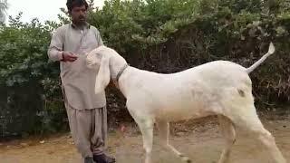 Download Animal Family Goat Farming Bakra Mandi Pakistan MP3