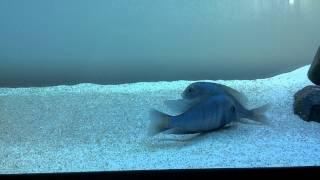Blue Dolphin cichlids spawning (Crytocara Moorii)