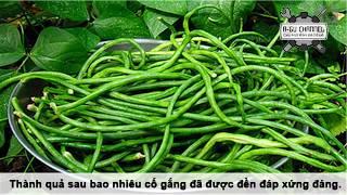 Hướng dẫn trồng đậu đũa tại nhà sai trĩu quả.