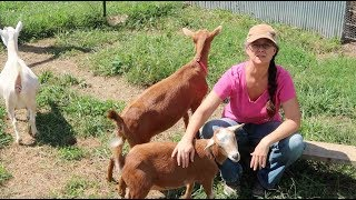 It's TOO Risky!  We HAVE to Quarantine Her! Quarantining NEW Goats.