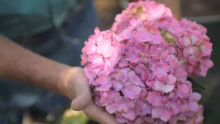 How to Prune a Pom Hydrangea : Fall & Winter Gardening Tips