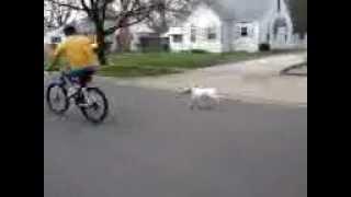 Bella Star The Bull Terrier Bike Ride March 12' Michigan