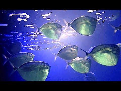 ギンカガミ Moon fish Mene maculata