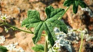 Cucamonga Manroot, Marah macrocarpus, Escondido, California