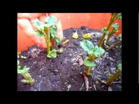 Growing Red Potato In Container With Updates