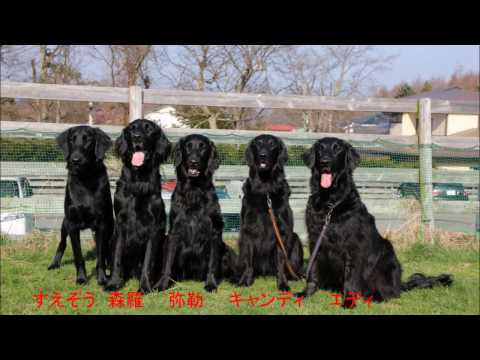 Diving Dog Flat coated retriever