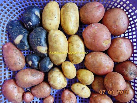 Семенной картофель Сарпо Мира и Шарвари Пирожка . Распаковка посылки с клубнями .