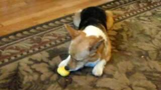 Timmy The Corgi Playing With His Toy