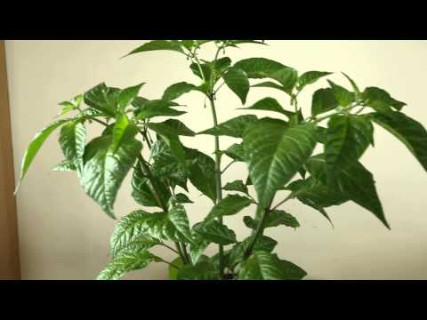 Trinidad Moruga Scorpion flowering