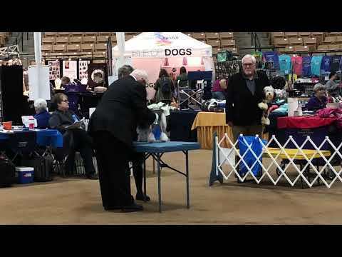 2019 03 07 IMG 2360 Nashville Country Music Cluster Lowchen breed judging Day 1