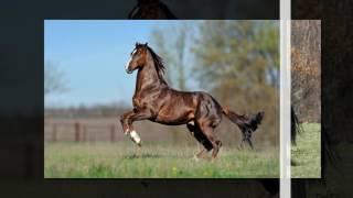 английская порода лошадей
