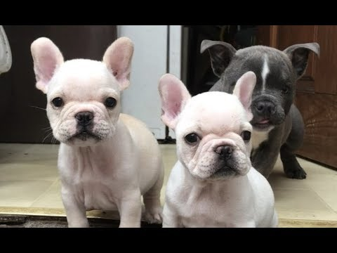 Adoptable French Bulldog Puppies Playing And Looking For Forever