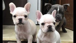 Adoptable French Bulldog Puppies Playing And Looking For Forever Homes | The Dodo LIVE