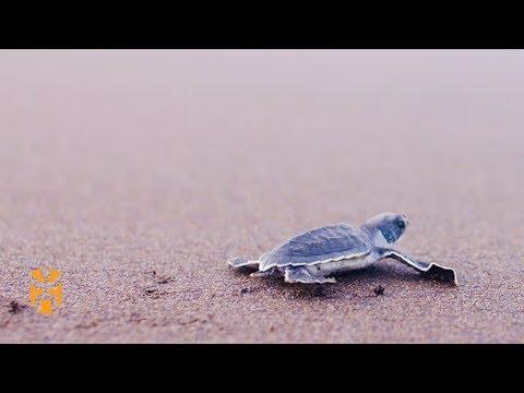 Turtle Conservation Costa Rica | Positive Footprints | World Nomads