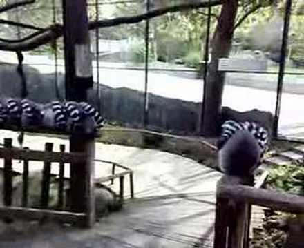 Lemurs in Stockholm Zoo - Skansen