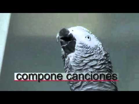 Yaguer el loro gris africano  habla . grey parrot