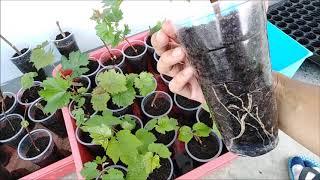 Cara Mudah Semai Batang Anggur... Akar Cambah dalam 35 Hari Sahaja!