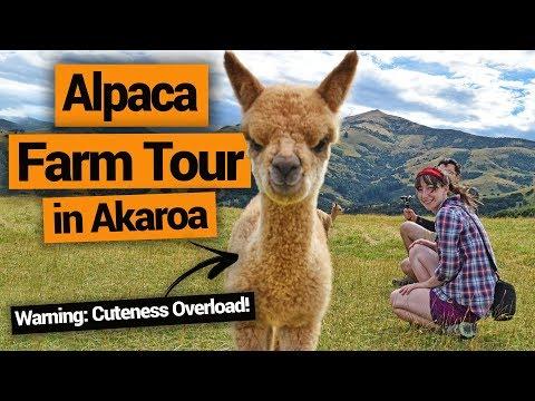 Alpaca Farm Tour in Akaroa (Ridiculously Cute!) – New Zealand's Biggest Gap Year