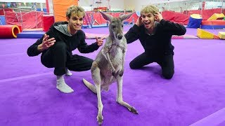 Gymnastics with a kangaroo!