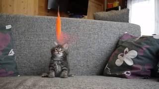 Сибирский котенок Из Одиссеи