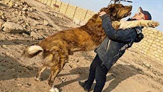 самая большая собака в Актау (волкодав.алабай.питбуль.кавказец)