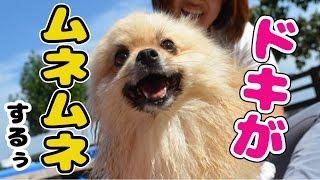 【かわいい犬動画】 大きいプール最終日!バシャバシャ泳いで、上手にな...