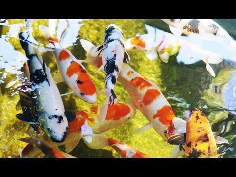 kolam ikan koi dengan sistem trickle filter - youtube