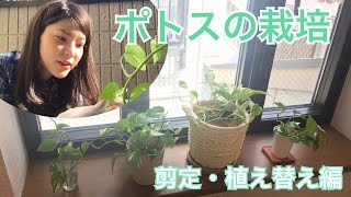 ポトスの植え替えと水栽培 / Pothos Plants