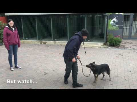 how-to-stop-your-dog-from-being-aggressive-to-other-dogs-and-people---with-danny-the-collie-cross