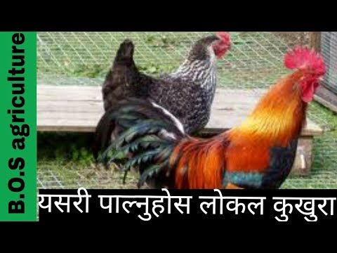 यसरी पालन गराै लोकल कुखुरा ||local kukhura paln in Nepal||2017||poultry farming in nepal