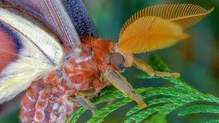 Attacus atlas moth development - Atlasspinner Motte Entwicklung - FHD