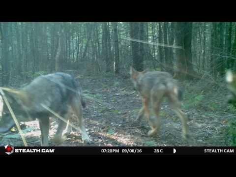 Algonquin Wolves 2016