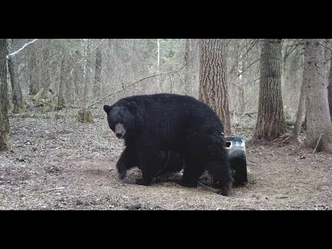 Black Bear hunting in Saskatchewan.