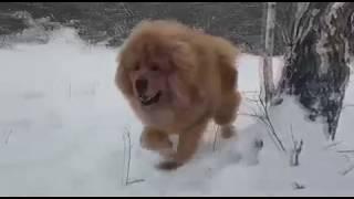 """Tibetan mastiff. Тибетские мастифы """"Белого Лекаря"""" в лесу на прогулке. http://beliy-lekar.ru"""
