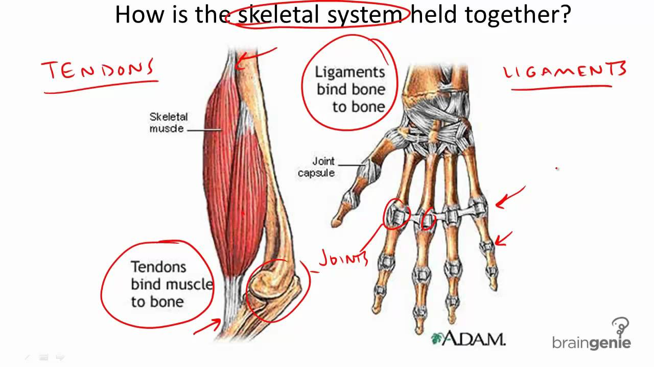 834 Tendons And Ligaments Youtube