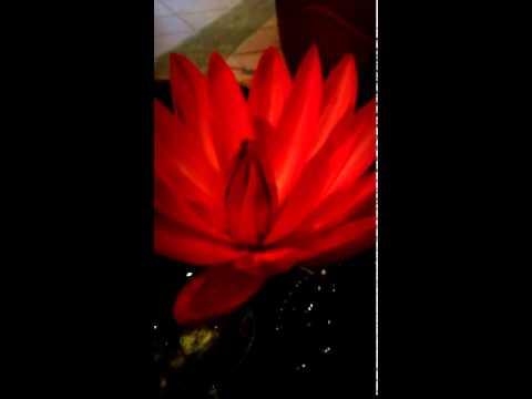 Red lotus flower youtube red lotus flower mightylinksfo