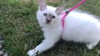Ragdoll  - Первая уличная  - как котенок изучает окружающую среду