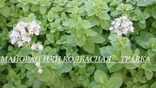 видео Полезные и лечебные свойства травы майорана