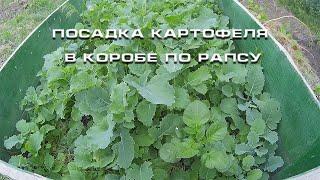 Посадка картофеля в коробе по рапсу(Промежуточный результат посадки картофеля по рапсу. Видео