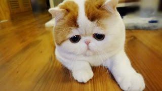 Смешное видео с котами - КОТЫ  ЗВЕЗДЫ YouTube & САМЫЕ ЗНАМЕНИТЫЕ КОТЫ В МИРЕ & funny kittens