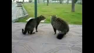 Война котов  Бой котов  Это интересно